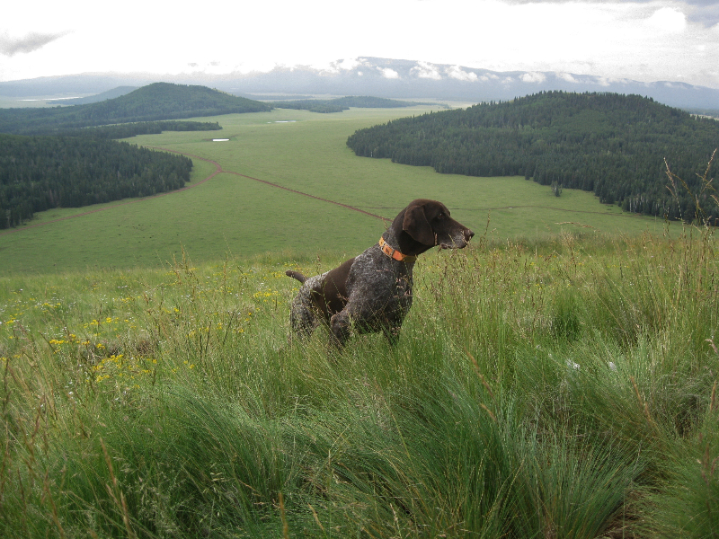 German Shorthaired Pointers Dogs Rowdy   Dog Breeds Picture