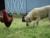 deputydog-foghorn-leghorn