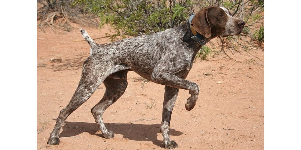 Dual Quality German Shorthaired Pointers Nc